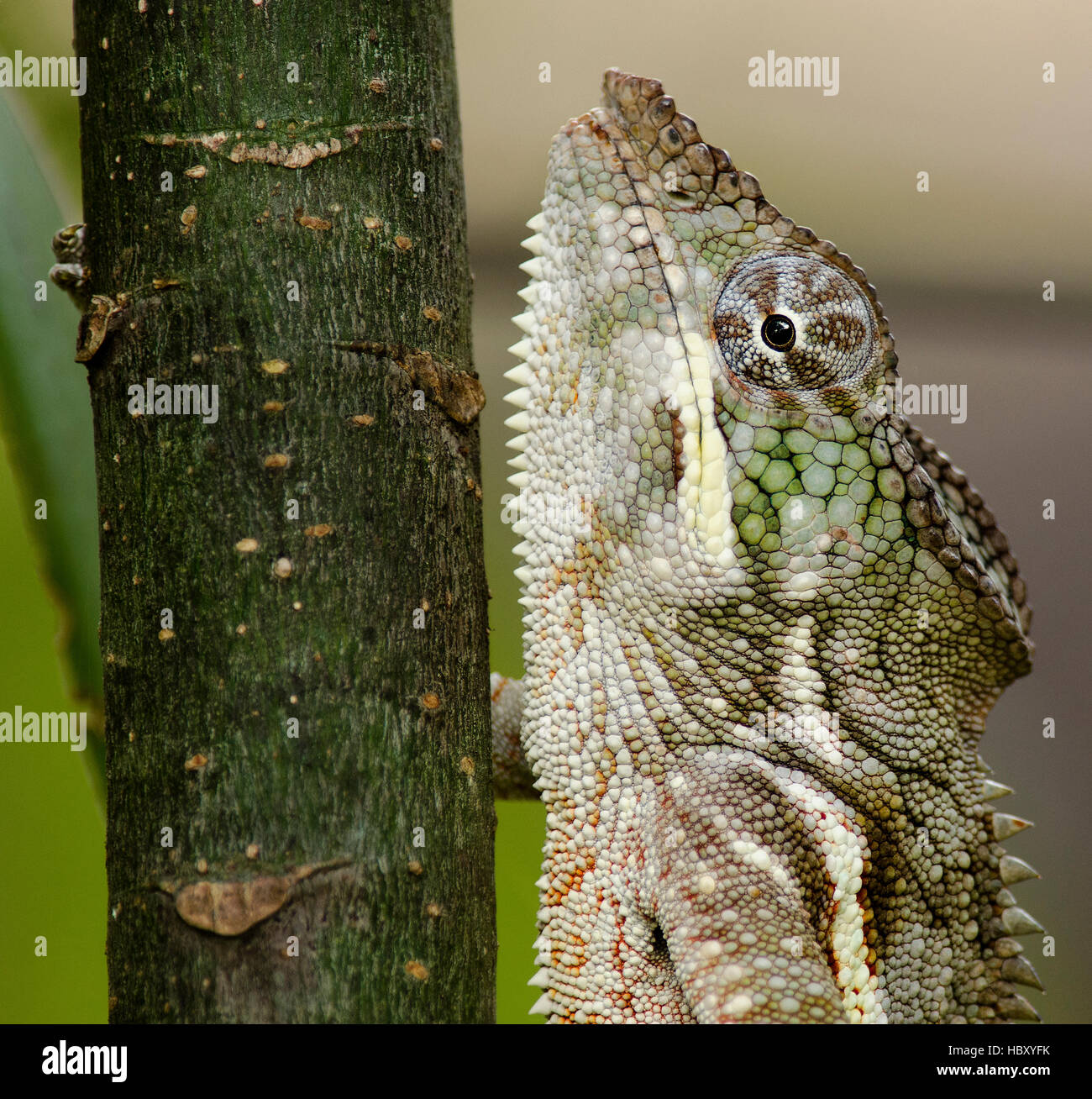 Pantherchamäleon (Furcifer Pardalis) Nahaufnahme Stockbild