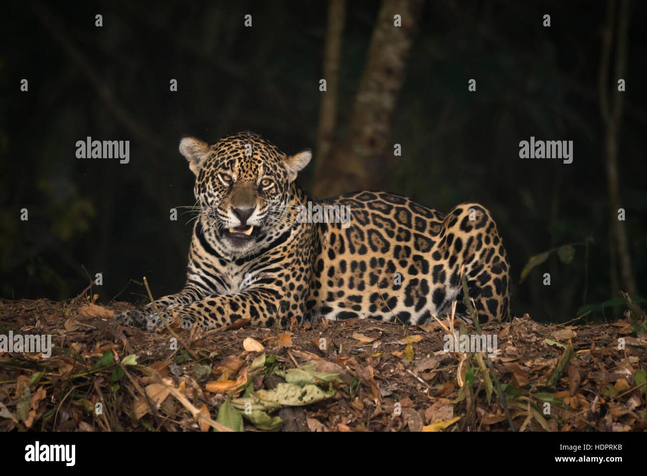 Ein Jaguar aus nördlichen Pantanal Stockbild