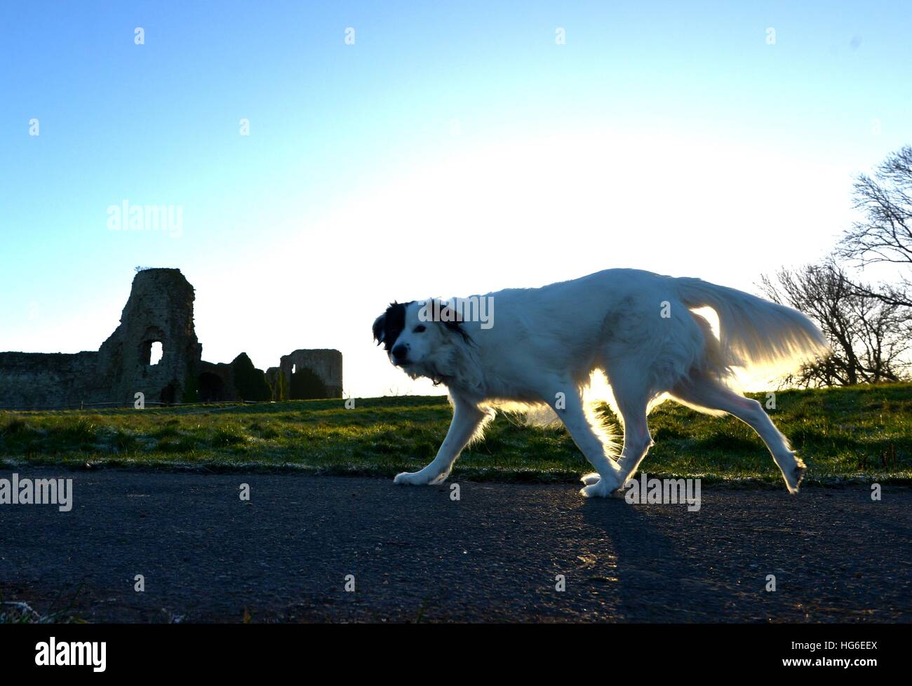 Hund zu Fuß vorbei an Pevensey Castle, East Sussex Stockbild