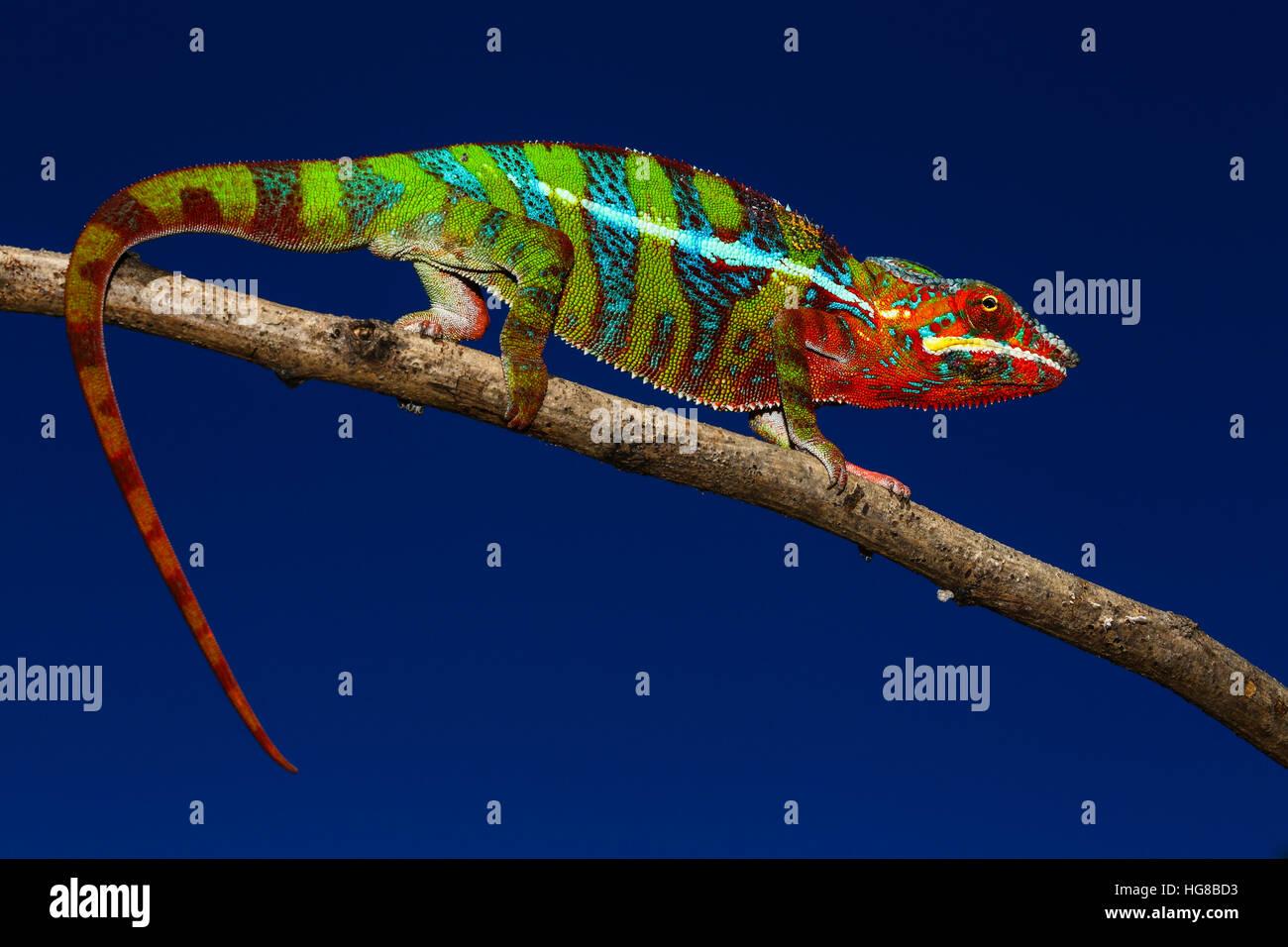 Männliche Pantherchamäleon (Furcifer Pardalis) auf Ast, Ambilobe, Diana, Madagaskar Stockbild