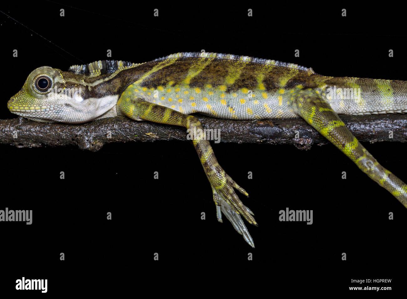 Große Anglehead Eidechse (Gonocephalus Grandis) Stockbild