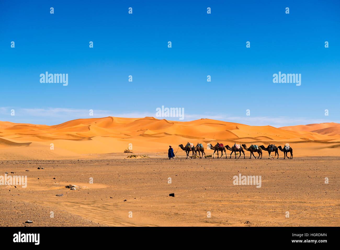 Merzouga, Marokko - 12. April 2016: Berber Mann an der Spitze einer Kamel-Karawane in den Erg Chebbi-Dünen Stockbild