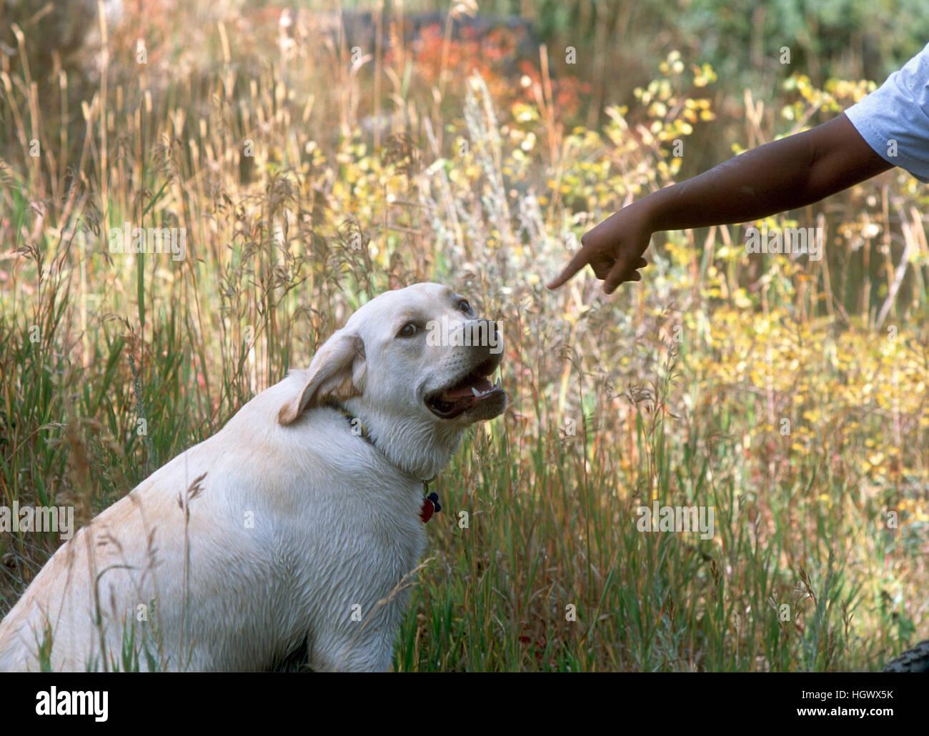 Junge leitet gelbe Labrador Retriever. Stockbild