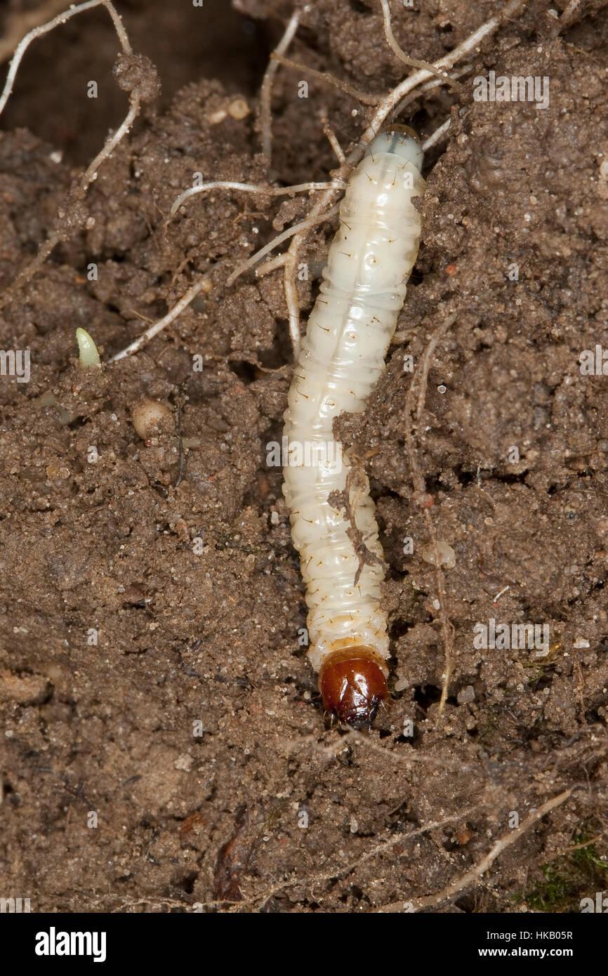 Wurzelbohrer, Raupe, Raupen Leben Im Boden Und Ernähren Sich von Wurzeln, Hepialidae, schnelle Motte, rasche Stockbild