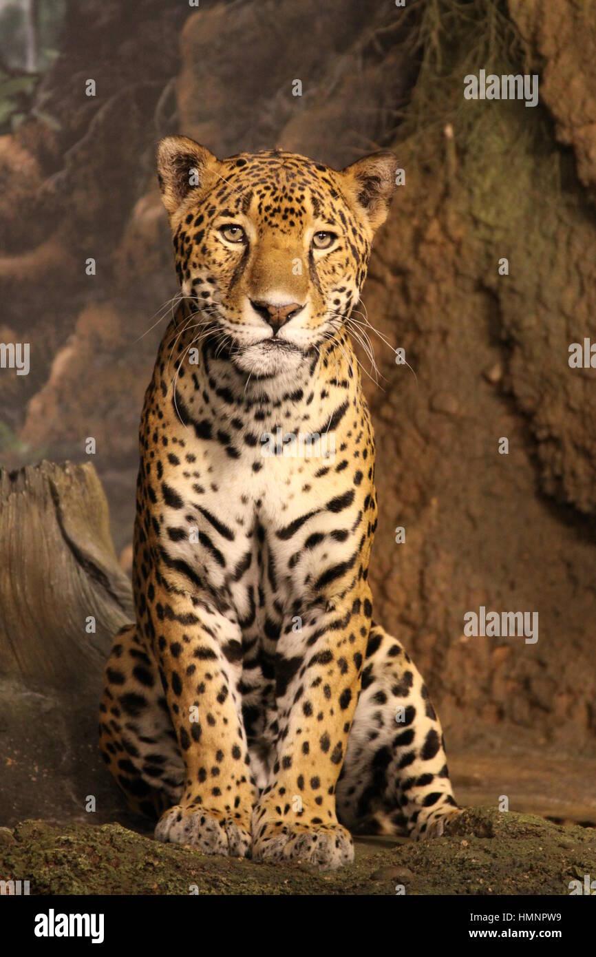 Jaguar in Posen sitzen Stockbild
