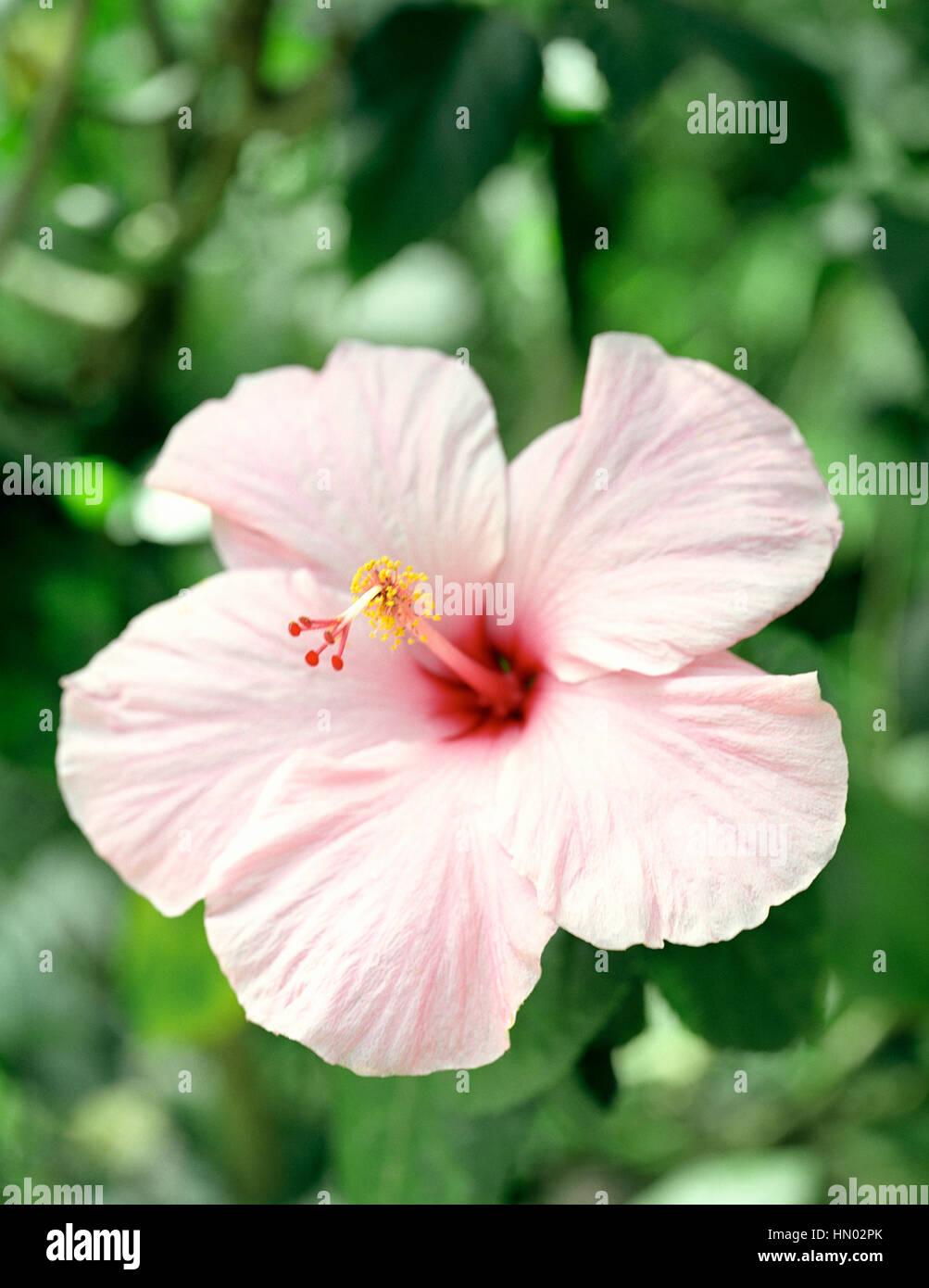 Eine Nahaufnahme von einer rosa Hibiskus Blume. Edmund Waldreservat. St Lucia. Stockbild