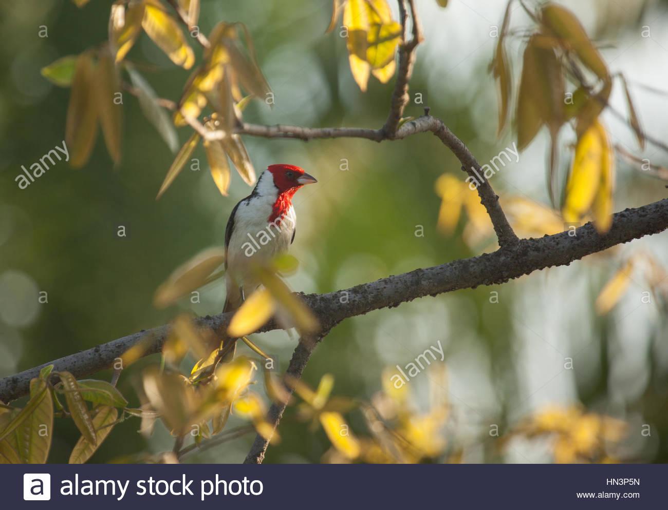 Ein rot-schüchtern Kardinal, Paroaria Dominicana, hocken auf einem Baum in Sao Paulo Ibirapuera Park. Stockbild