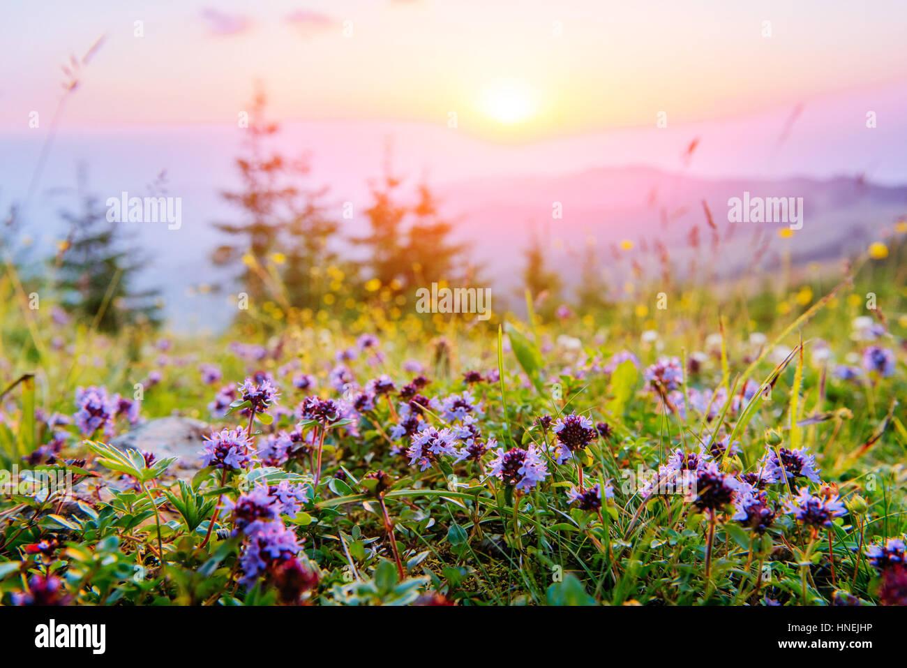 Wildblumen in die Berge bei Sonnenuntergang Stockbild