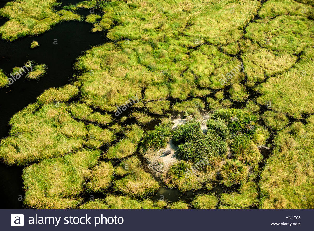 Ein Nilpferd, Hippopotamus Amphibius, Blick über die Feuchtgebiete von seiner kleinen Insel nach Hause. Stockbild