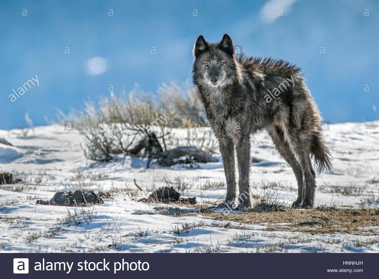 Ein einsamer Mitglied das Phantom Federn Wolf Pack steht im Grand Teton National Park. Stockbild