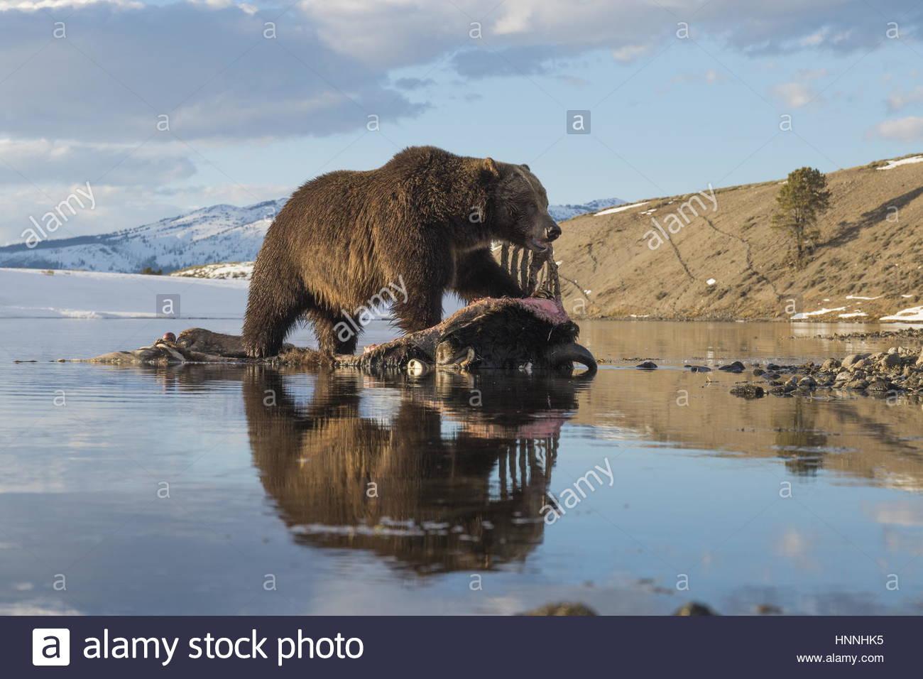 Eine Kamera-Falle fängt ein Grizzlybär Fütterung auf einen Ertrunkenen Bison. Stockbild