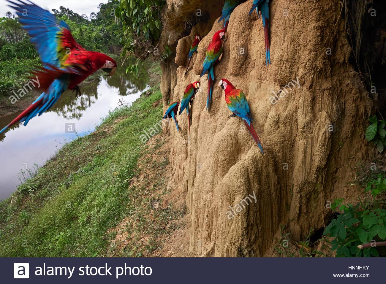 Clay Klippen bilden eine natürliche Leckstein, die rot-grüne Aras anzieht. Stockbild