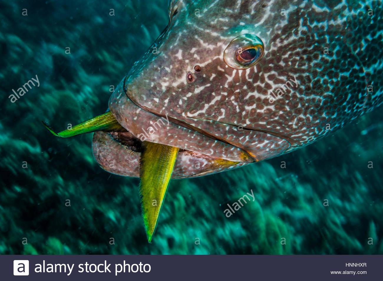 Eine schwarze Zackenbarsch mit einem unverdauten Snapper Fisch schwimmt langsam über einem Korallenriff in Stockbild