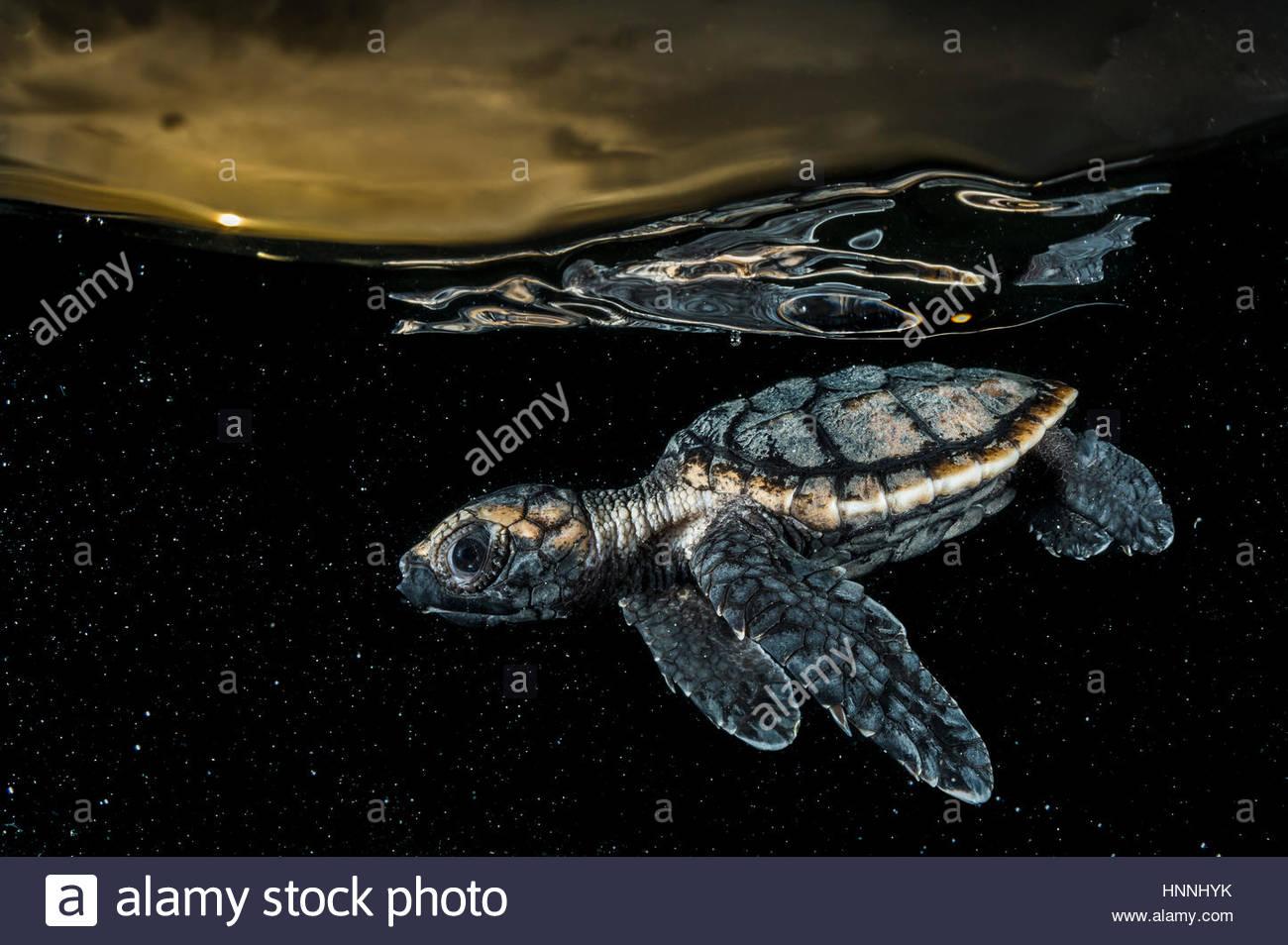 Eine vom Aussterben bedrohte Hawksbill Schildkröten Jungtier Eretmochelys schuppige, Paddel vom Ufer entfernt. Stockbild