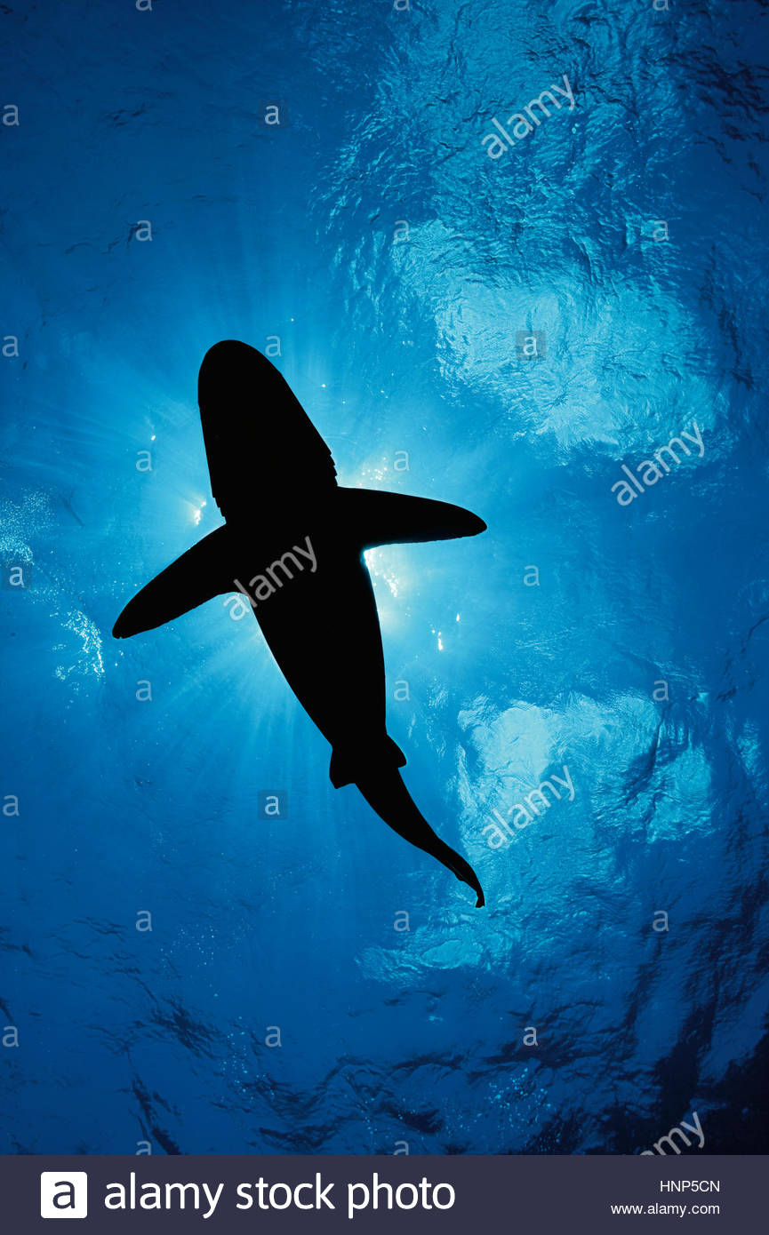 Ein ozeanische Weißspitzen Hai, Carcharhinus Longimanus, schwimmt in den Gewässern vor Cat Island auf Stockbild
