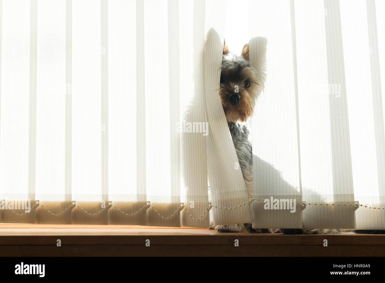 Hund spähte durch ein Fenster-bling Stockbild