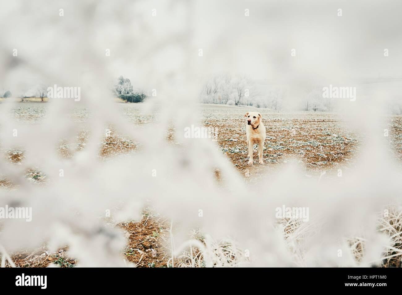 Frostigen Tag mit Hund. Labrador Retriever auf dem Spaziergang in ländlichen Landschaft. Stockbild