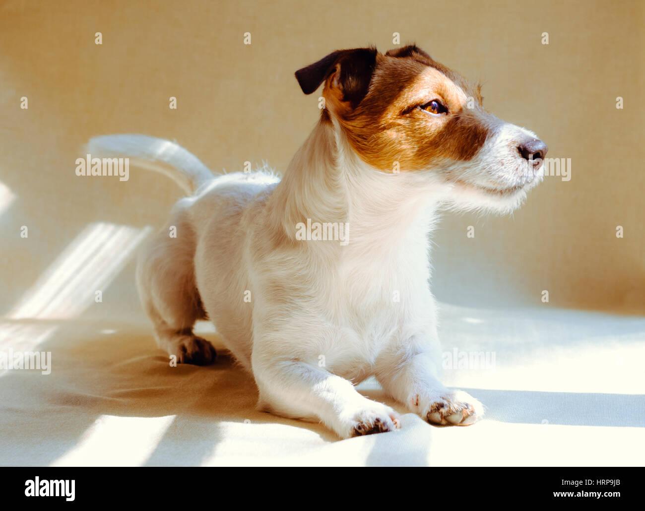 Ruhiger Hund warten Sie zu Hause in der Nähe von Fenster Stockbild