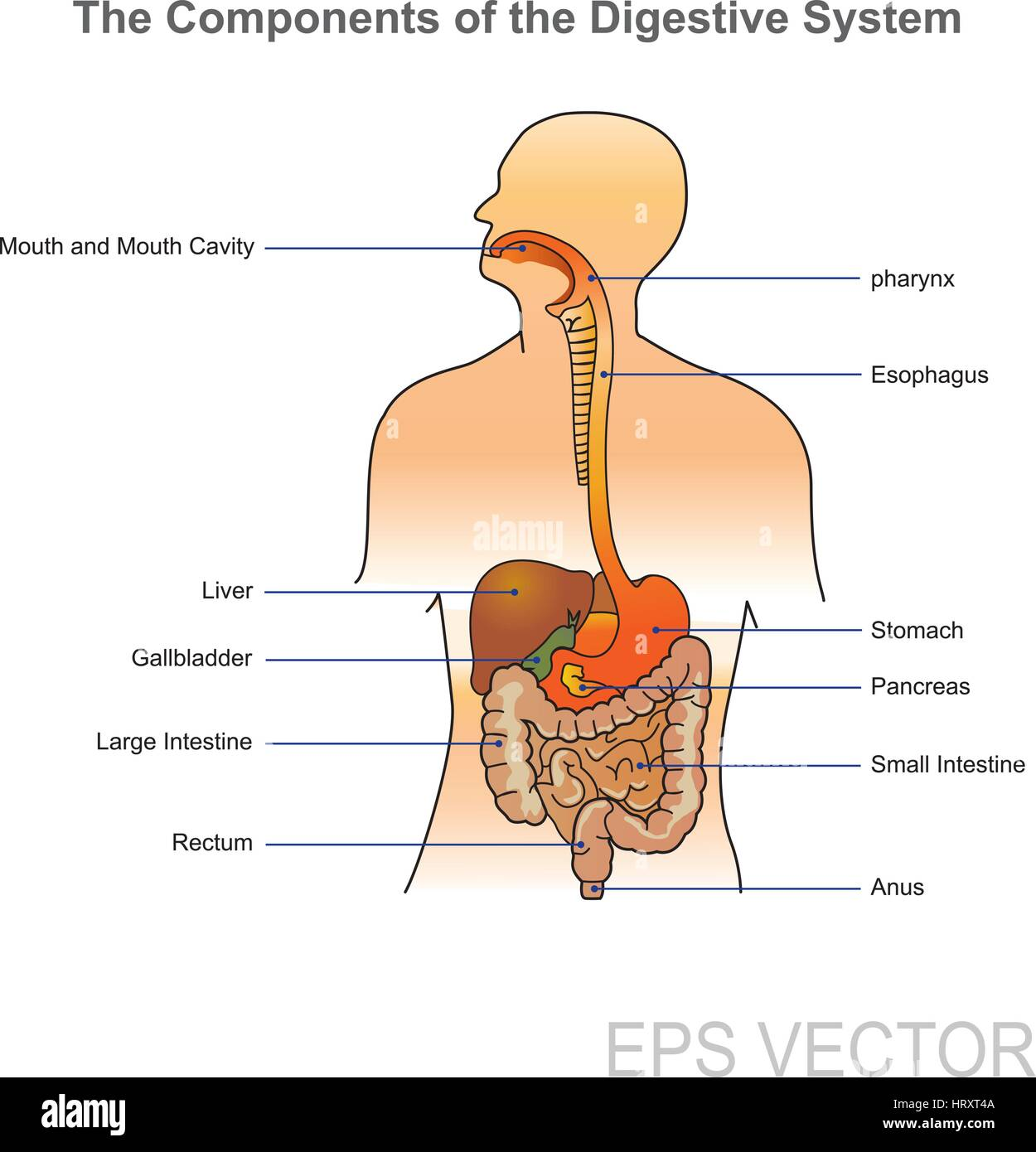 Das menschliche Verdauungssystem besteht aus dem Magen-Darm-Trakt ...