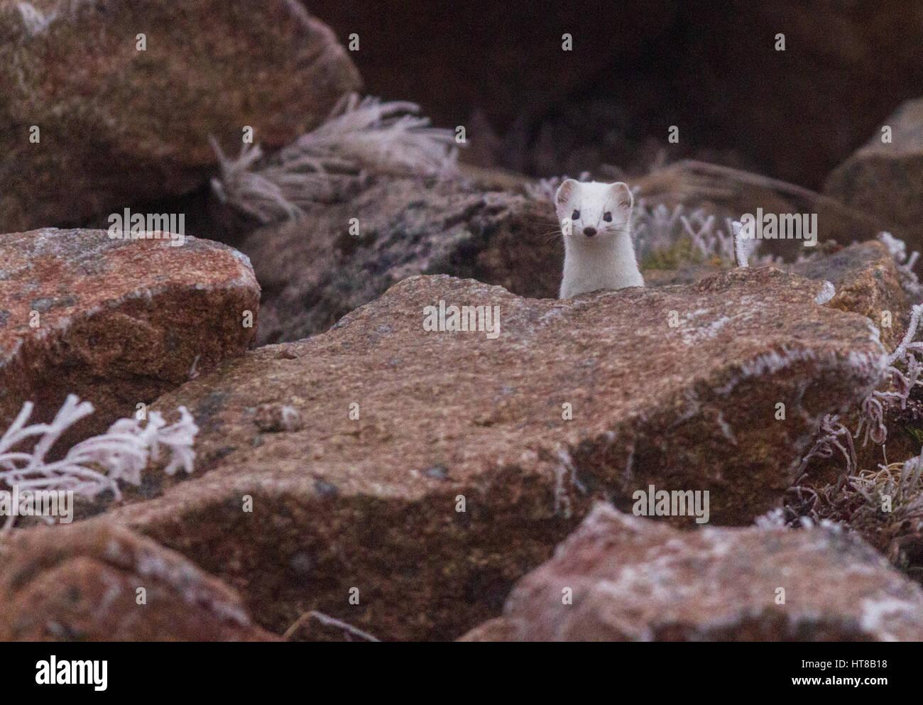 Hermelin, Mustela Erminea, mit weißen Winterfell, zwischen Felsen, Blick in die Kamera, kaltes Wetter mit Frost Stockbild