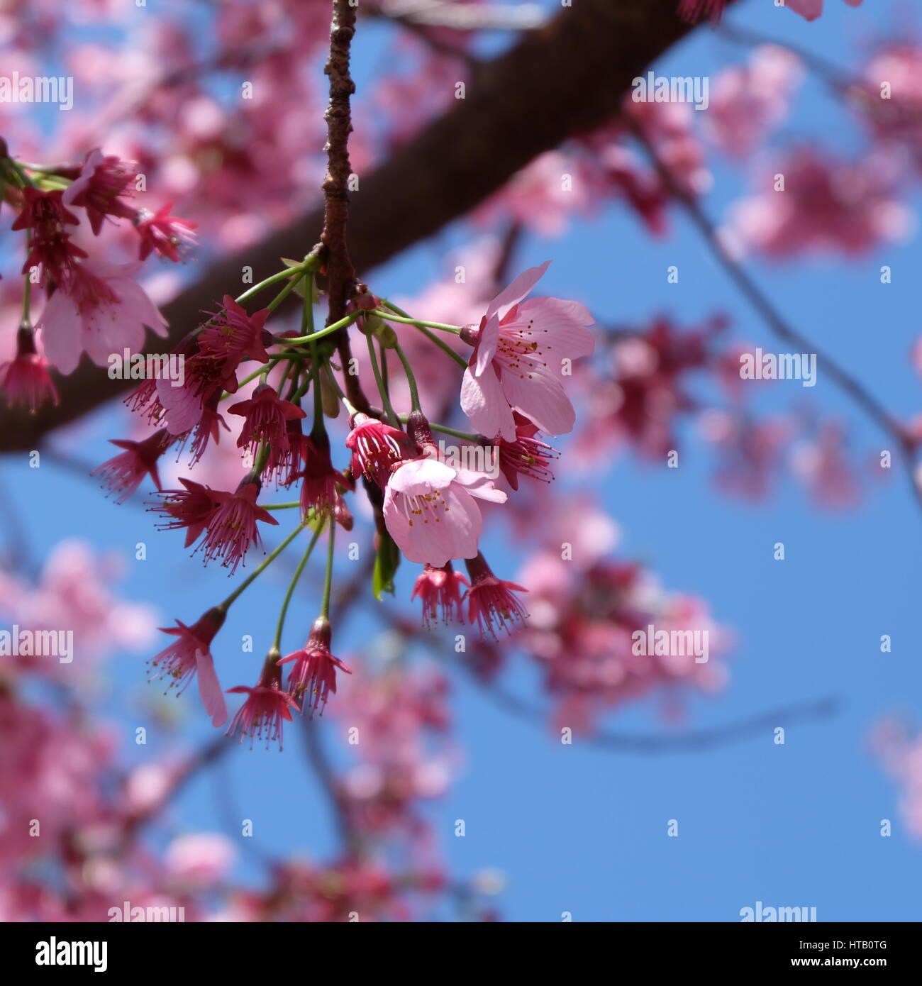 Fabelhaft Welche Blumen Blühen Im März Foto Von Schöne Rosa Kirschblüte Sakura Blühen Frühling Um