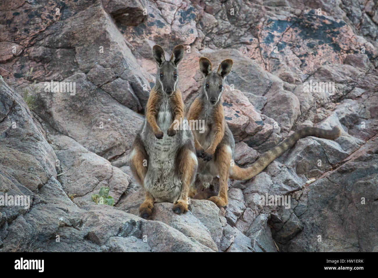 Gelb-footed Rock-Wallaby (Petrogale Xanthopus) Stockbild