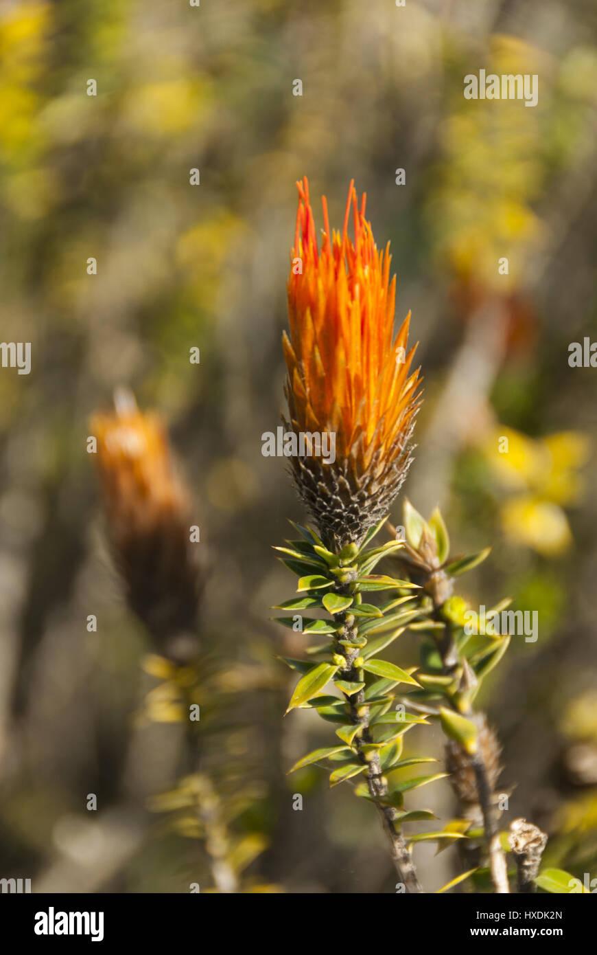 Ecuador, Cotopaxi Nationalpark, Chuquiraga Jussieui Wildblumen Stockbild
