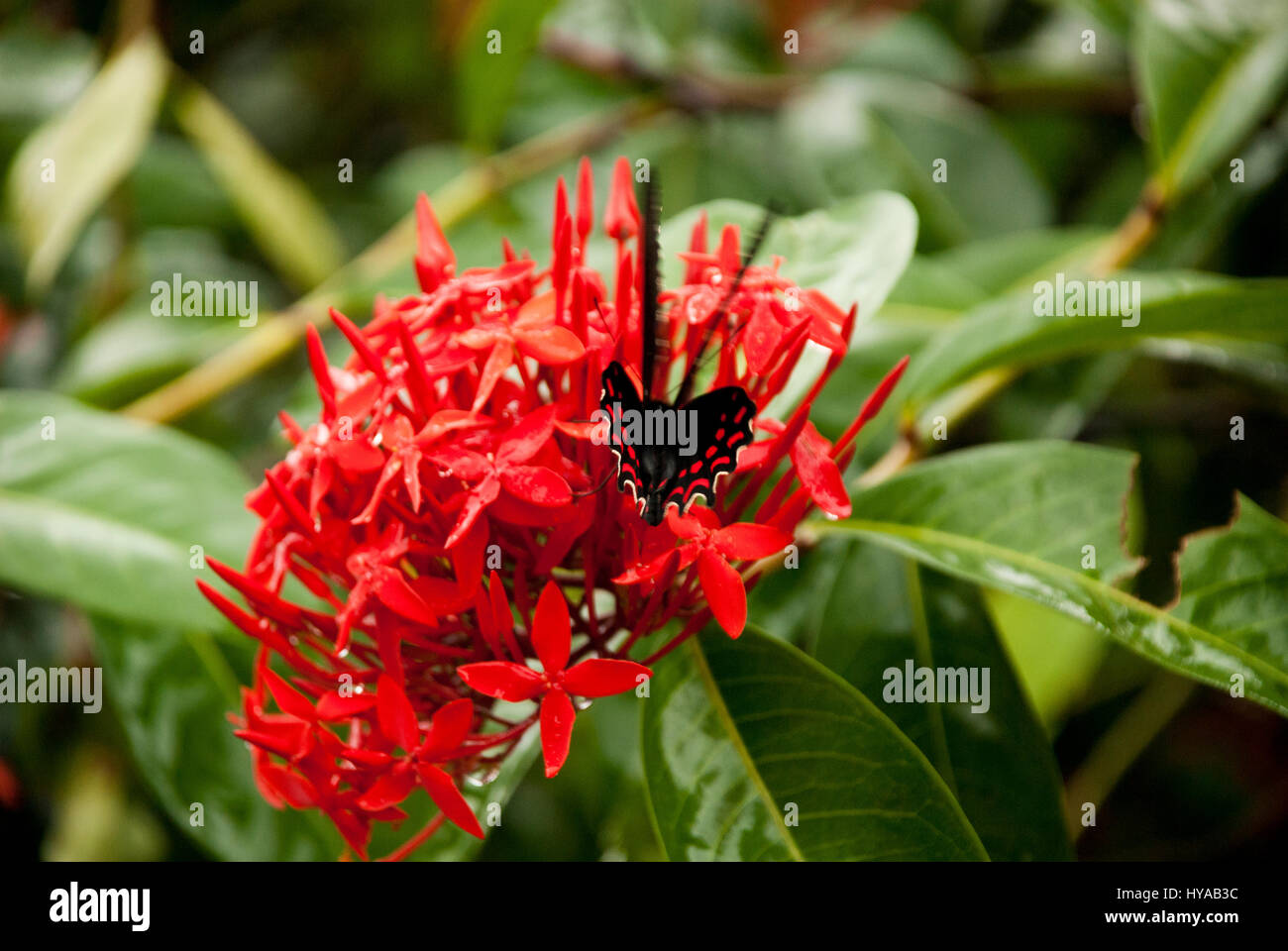 red ixora coccinea jungle geranium stockfotos red ixora coccinea jungle geranium bilder alamy. Black Bedroom Furniture Sets. Home Design Ideas