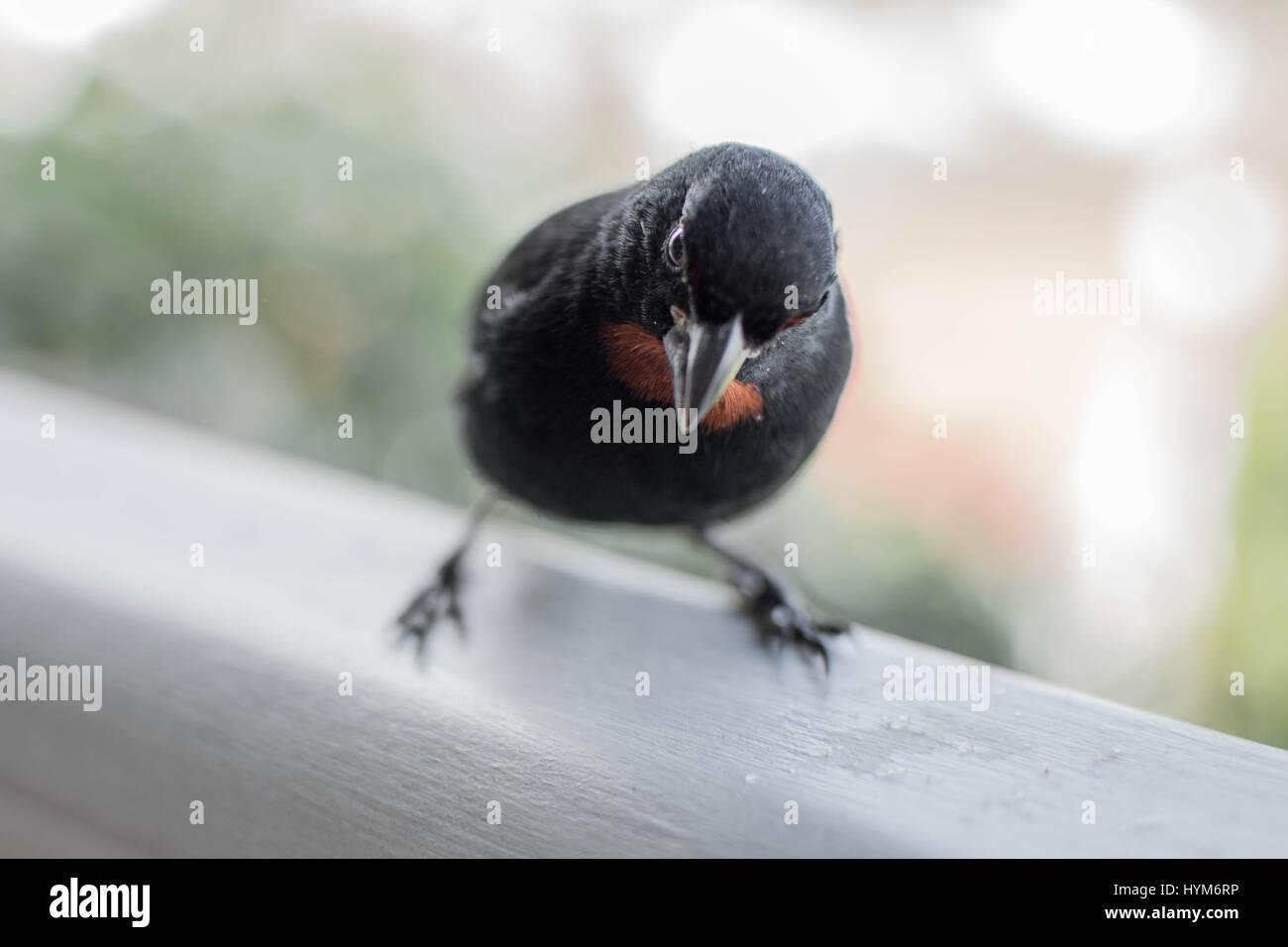 Vogel in Tartane, Martinique gesichtet Stockbild