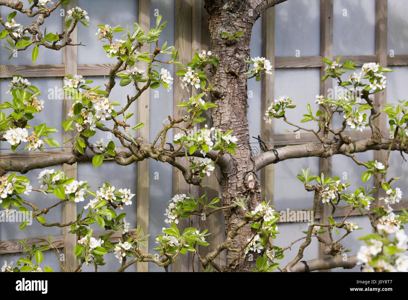 espalier stockfotos espalier bilder alamy. Black Bedroom Furniture Sets. Home Design Ideas