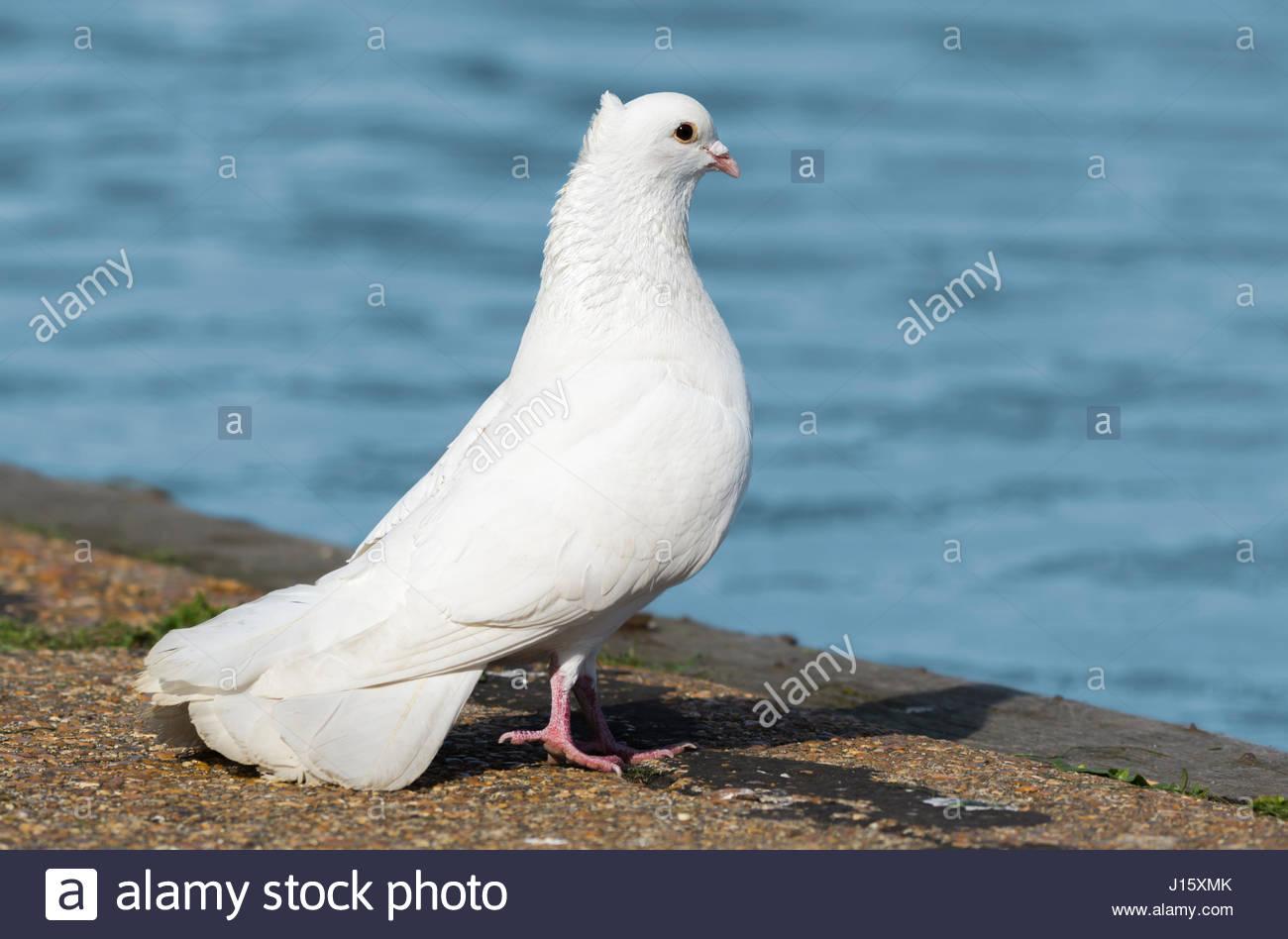 Weiß häusliche Taube (Columba Livia Domestica), ähnlich wie eine weiße Taube, stehen auf dem Stockbild