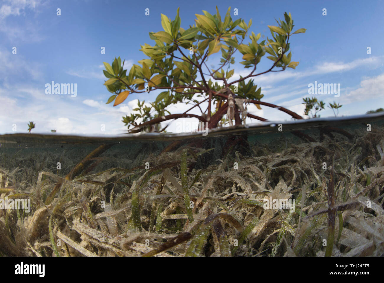 Über/unter der roten Mangroven-Baum. Stockbild