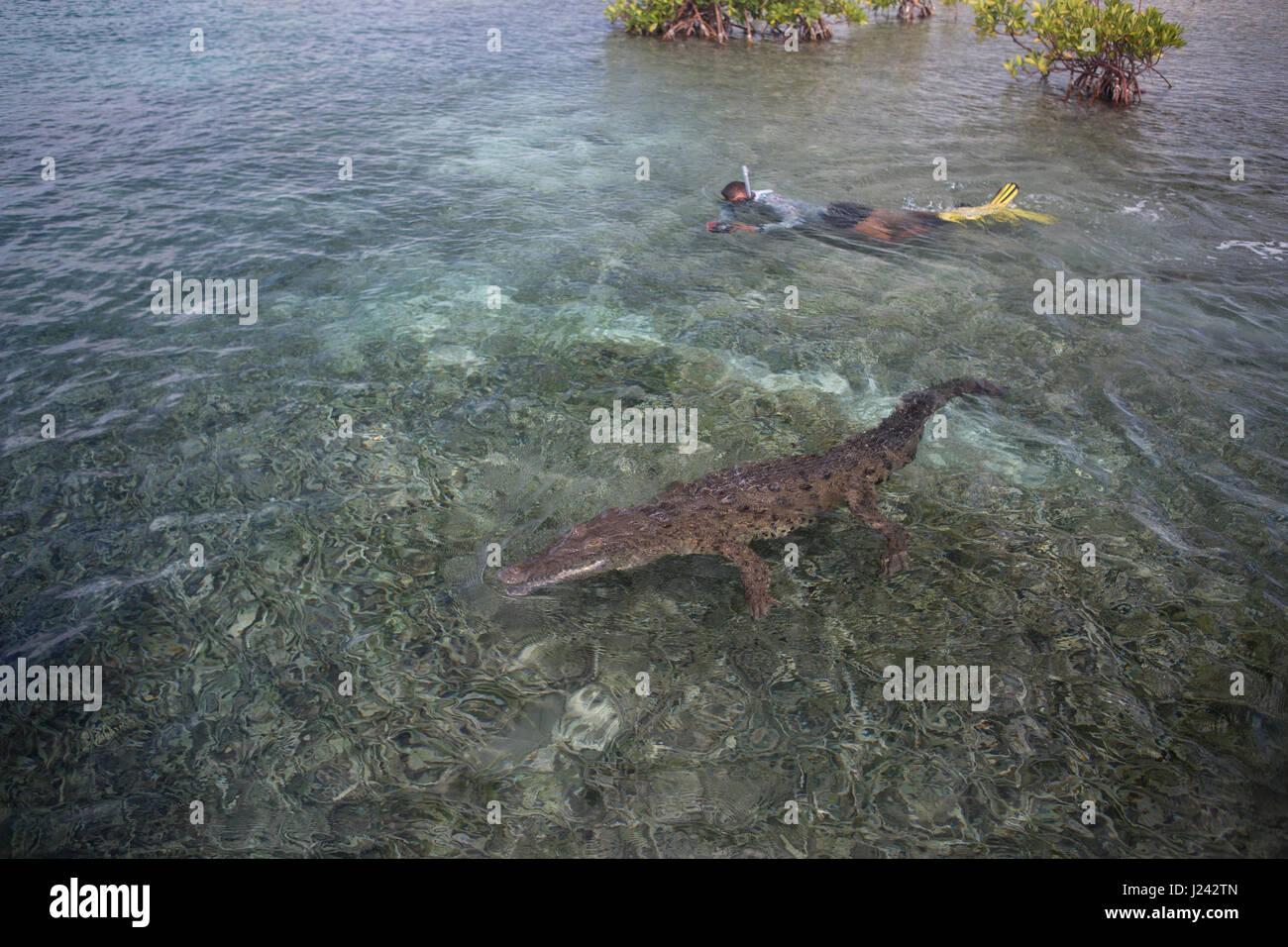 Schnorchler schwimmt mit Krokodil, Kuba Stockbild