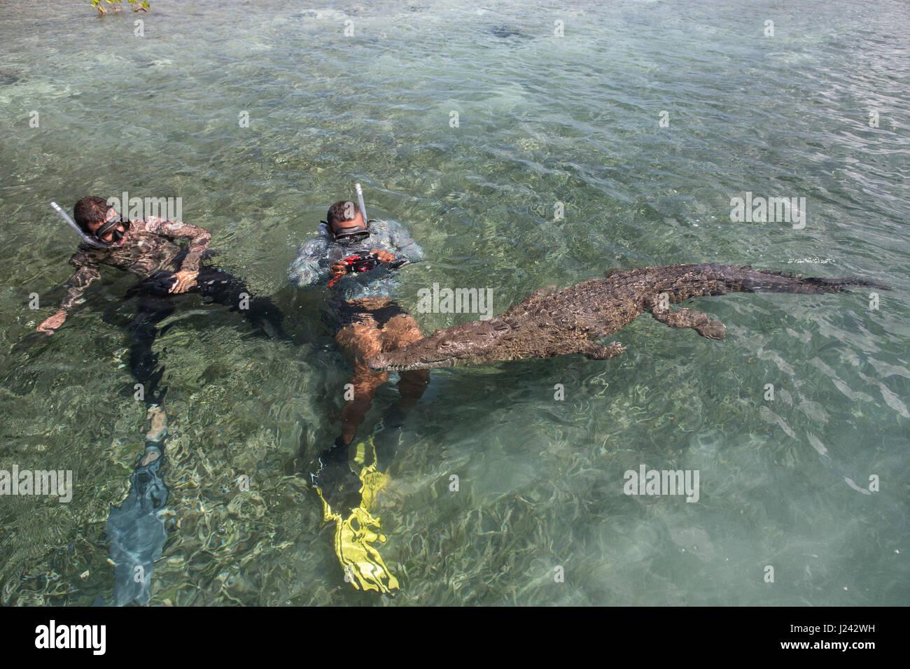 Schnorchler Schwimmen mit Krokodil, Kuba Stockbild