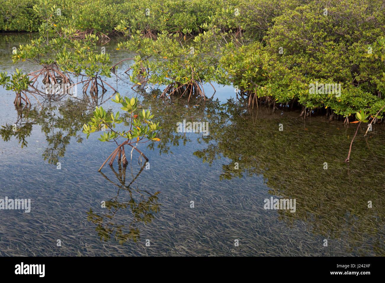 Reizvolle Aussicht von roten Mangroven in der Nähe von kubanischen Küste Stockbild