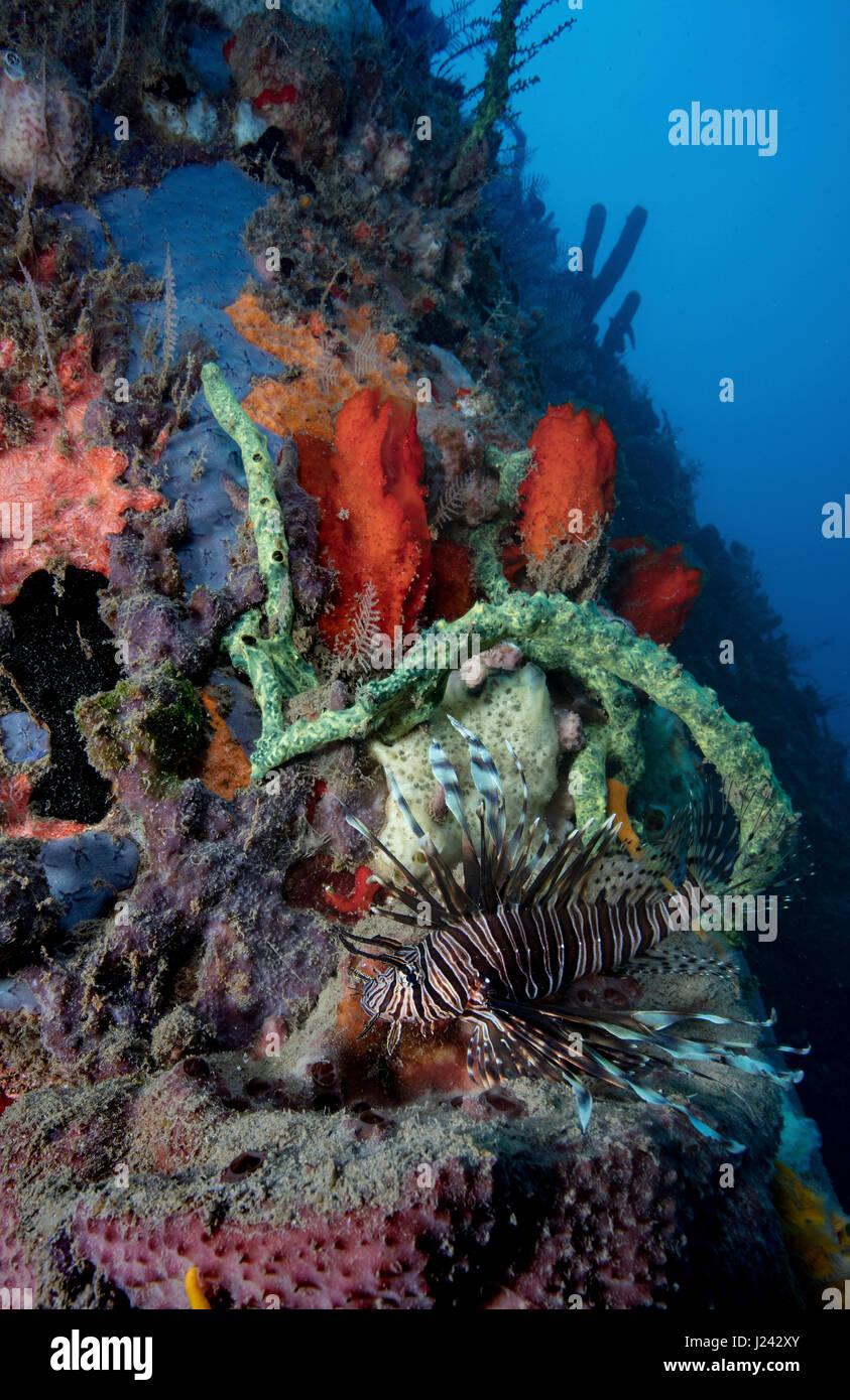 Invasive Rotfeuerfische auf Riff in Dominica Stockbild