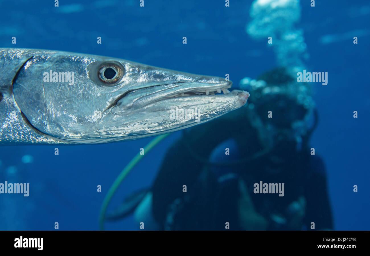 Scuba Diver hinter barracuda Stockbild