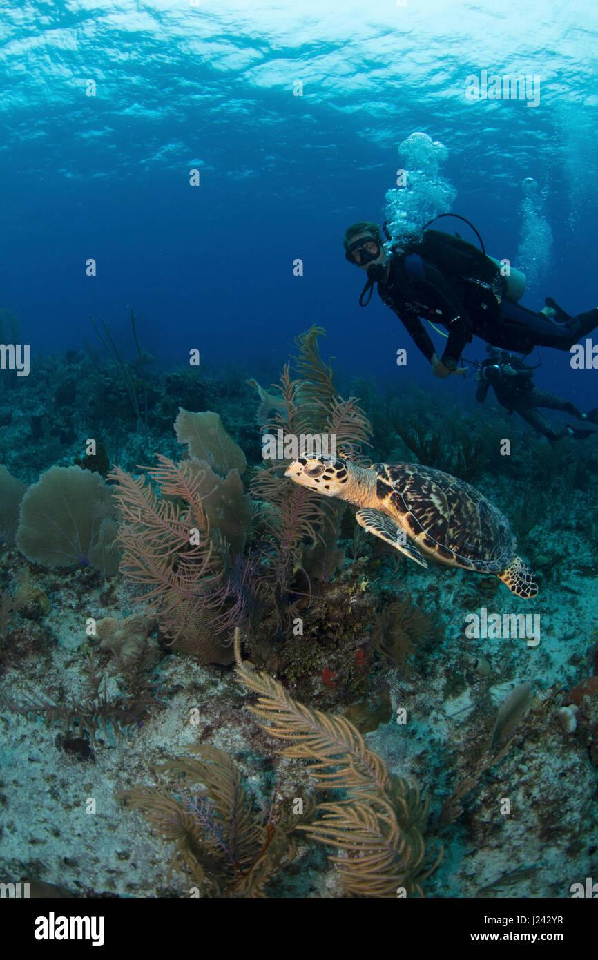 Taucher beobachten eine Schildkröte auf den Cayman islands Stockbild