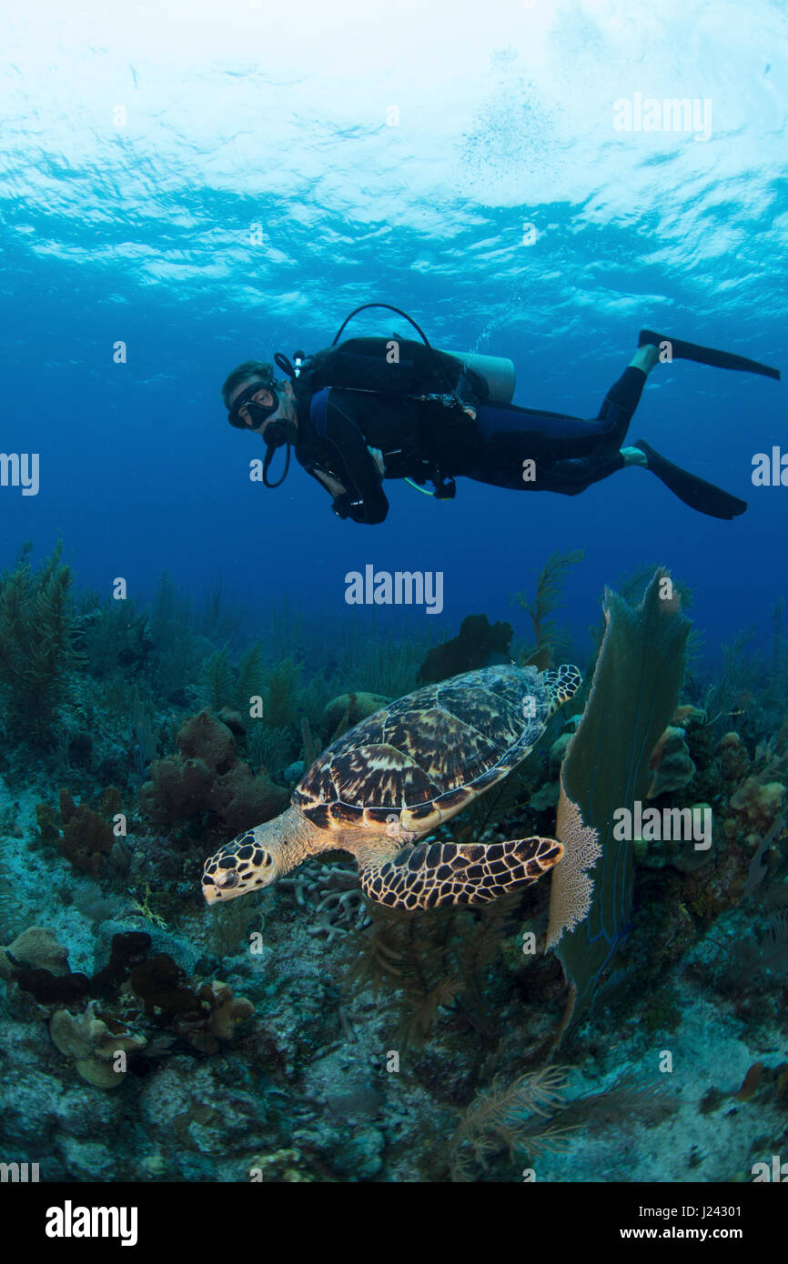 Scuba Diver beobachtet eine Schildkröte auf den Cayman islands Stockbild