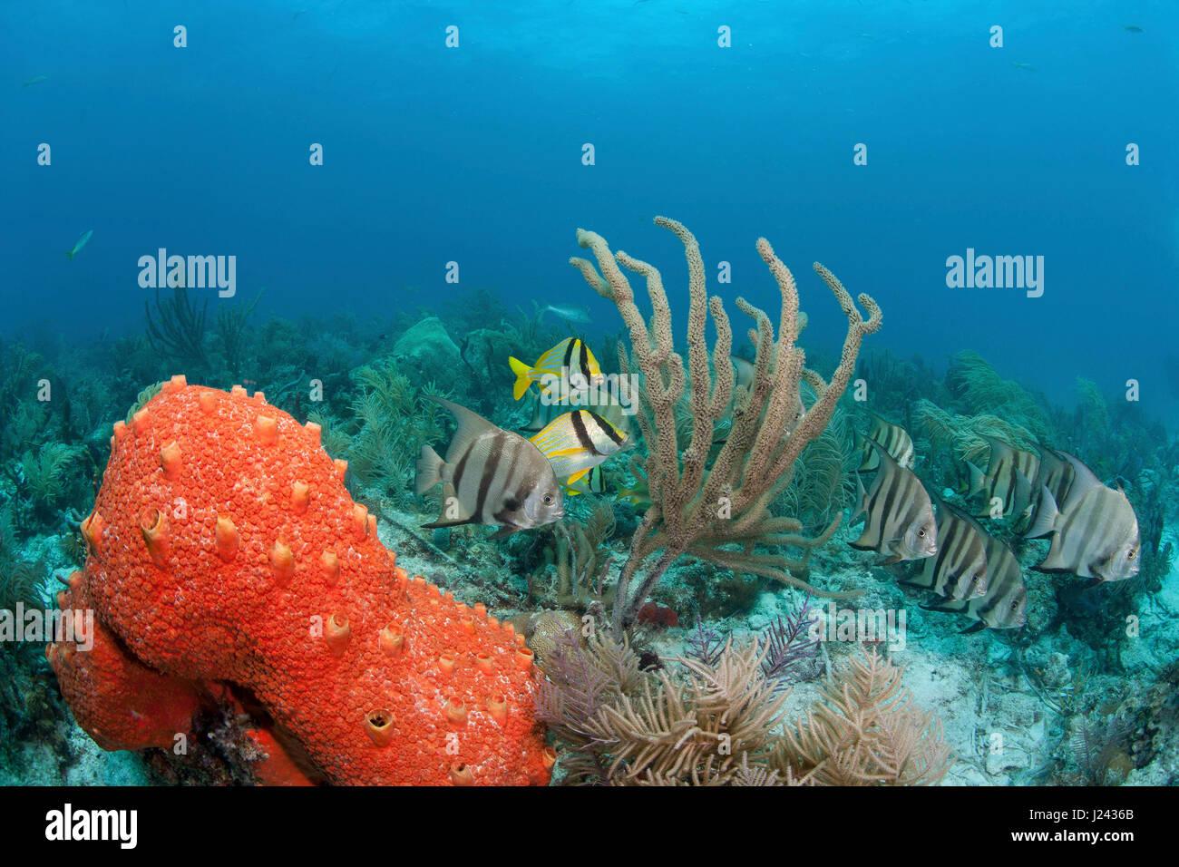 Atlantische Spadefish und Porkfish an einem Patch-Riff in Key Largo. Stockbild