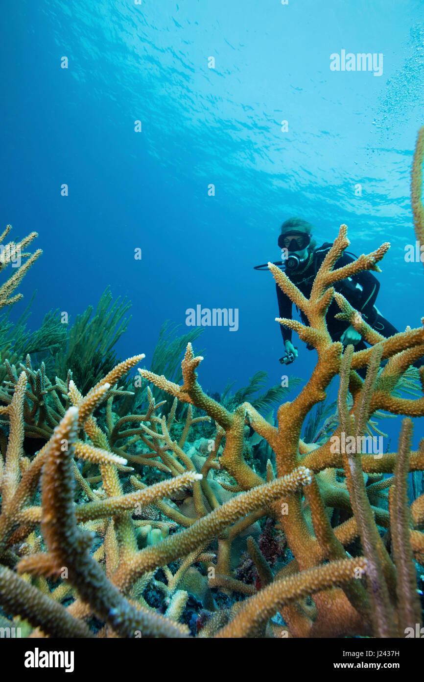 Riff-Szene mit Taucher und Hirschhorn Korallen Stockbild