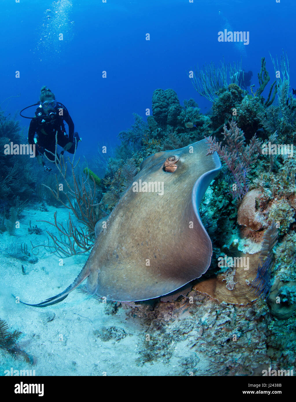 Scuba Diver Uhren Stingray, als er über Riff schwimmt. Stockbild