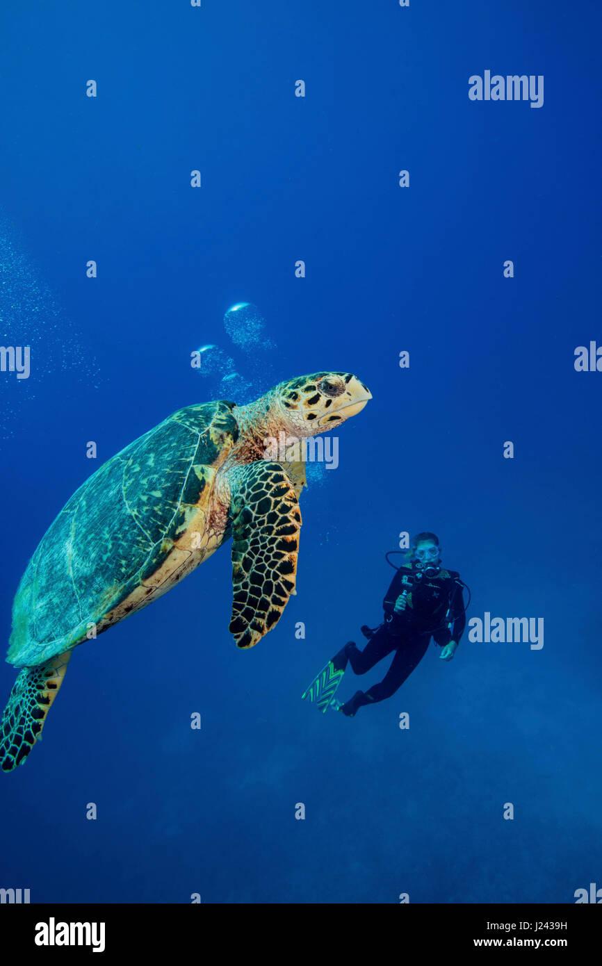 Taucher mit echte Karettschildkröte Stockbild