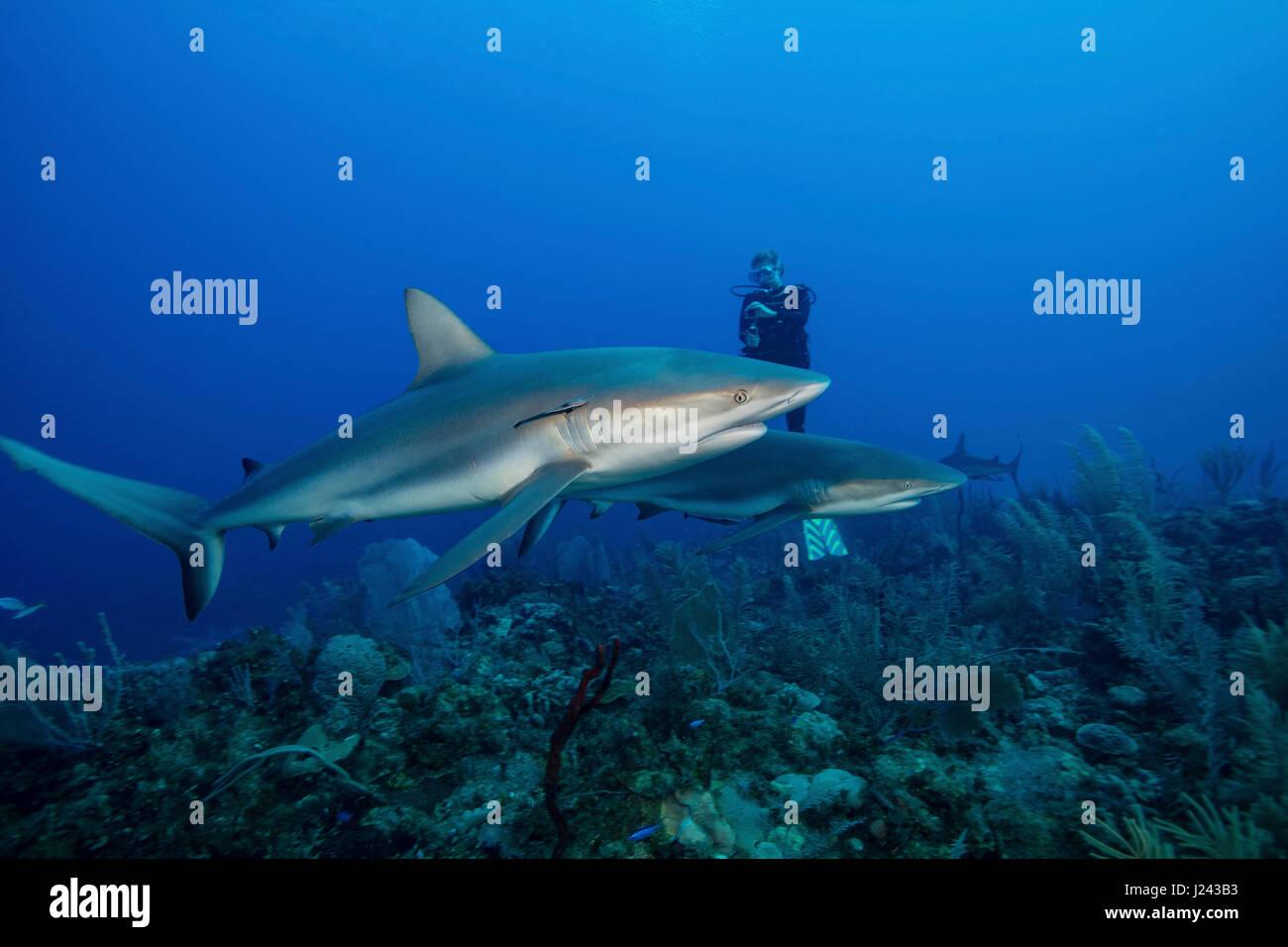 Taucher mit karibischen Riffhai. Stockbild