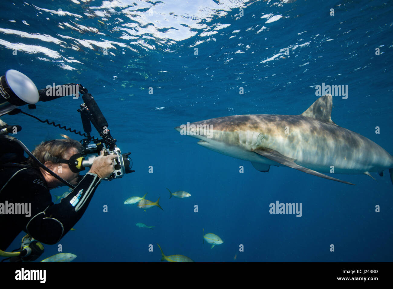 Unterwasser-Fotografen mit seidig Hai. Stockbild