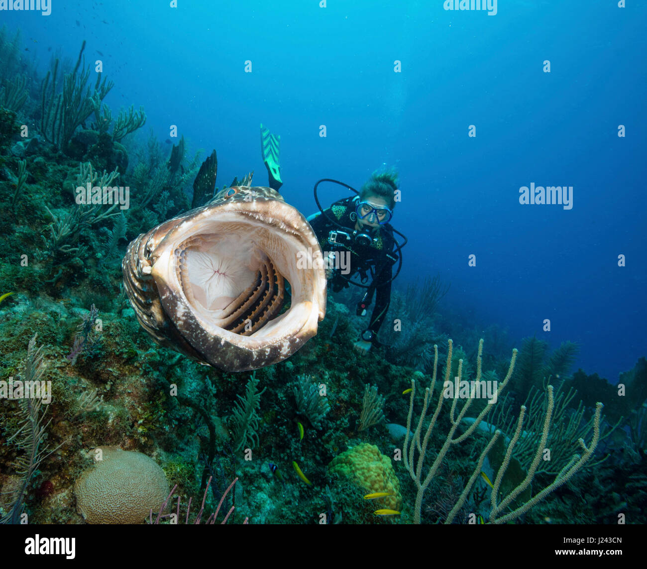 Scuba Diver nimmt video von schwarzen Zackenbarsch. Stockbild
