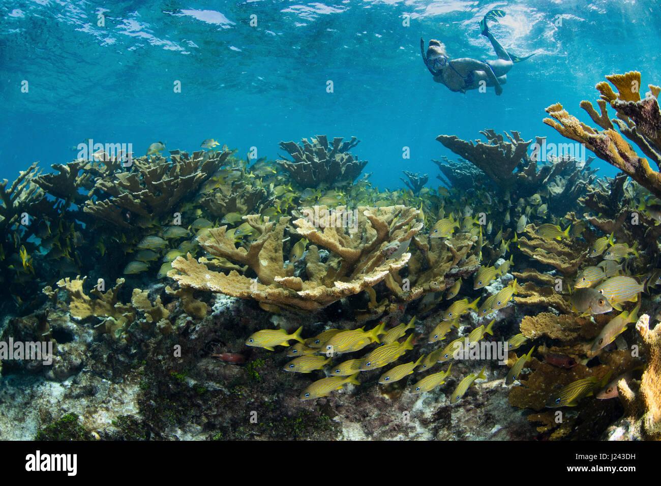 Schnorchler schwebt über den Bereich der harten Korallen. Stockbild