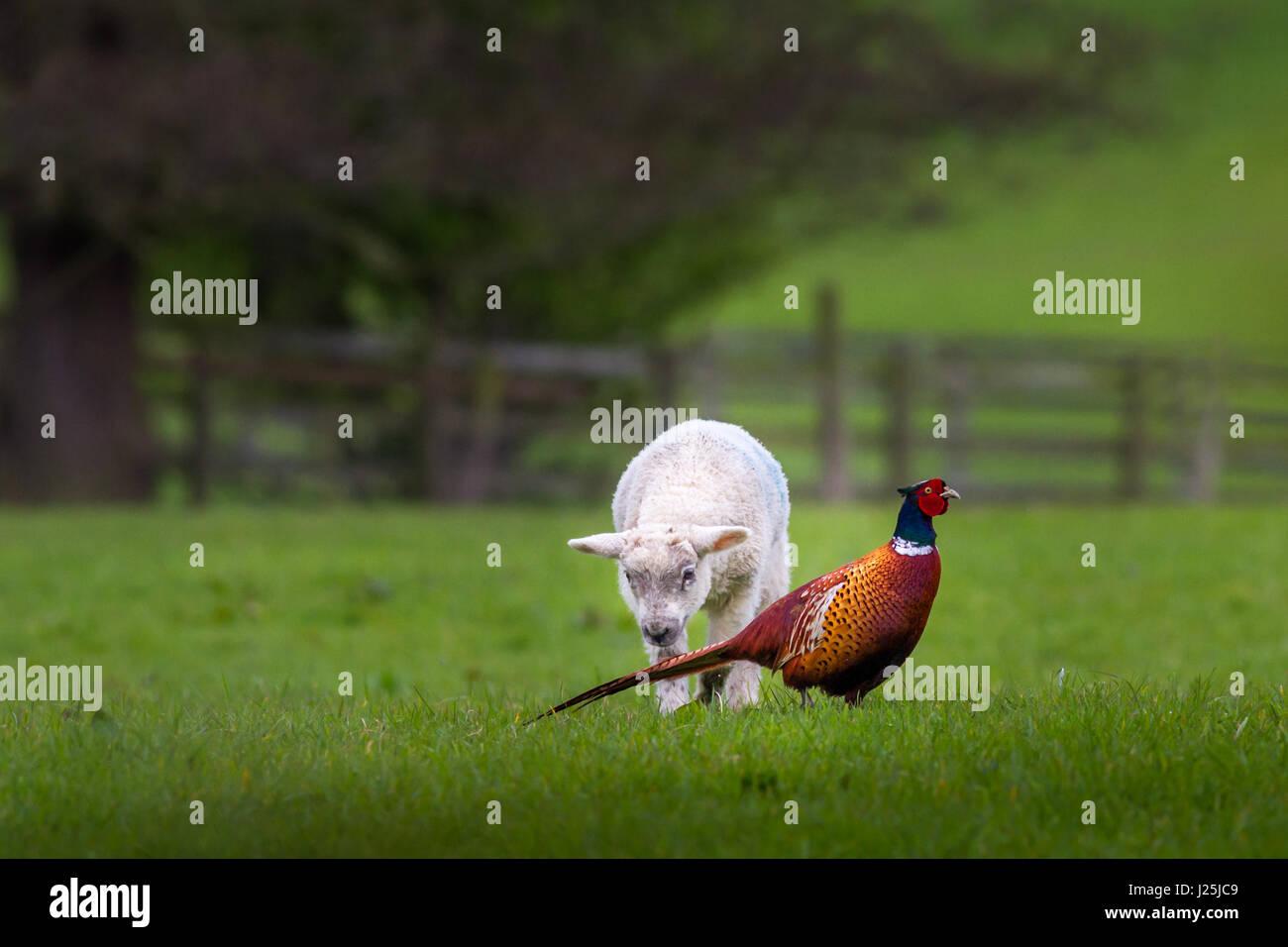 Tierwelt: Lamm neugierig eine neue Spezies in der Landschaft zu entdecken, ein männlicher Fasan, Burley-in Stockbild