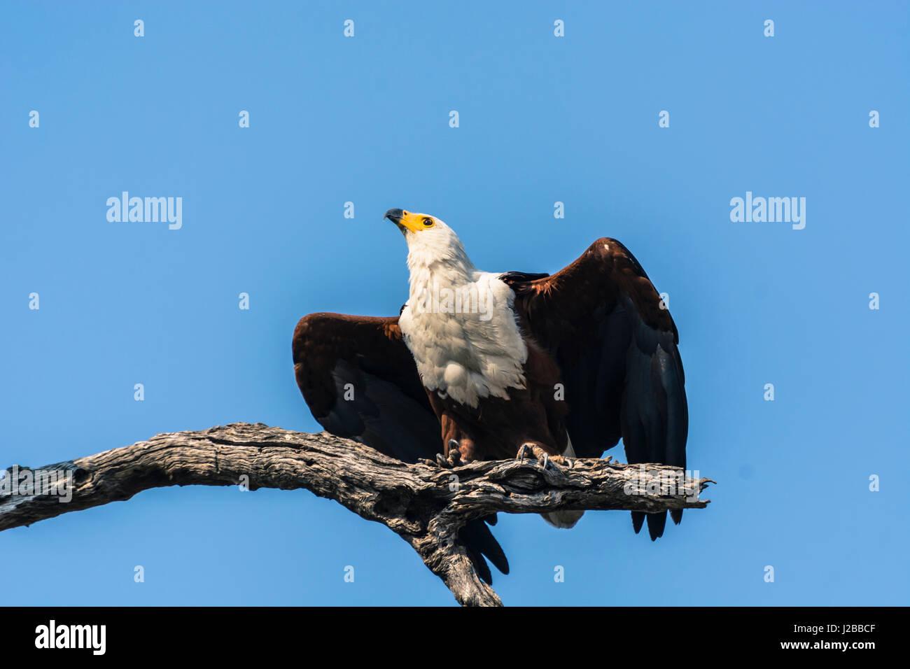 Botswana. Chobe National Park. Afrikanische Fischadler (Haliaeetus Vocifer) etwa die Flucht zu ergreifen. Stockbild