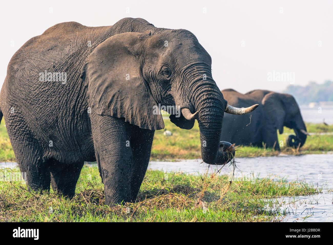 Botswana. Chobe National Park. Elefant (Loxodonta Africana) Weiden auf einer Insel im Chobe Fluss. Stockbild